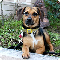 Adopt A Pet :: Pixie - from Costa Rica - Los Angeles, CA