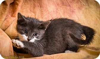 Domestic Shorthair Kitten for adoption in Anna, Illinois - ESAU