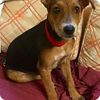 Adopt A Pet :: Virgil - Phoenix, AZ
