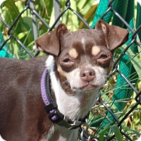 Chihuahua Mix Dog for adoption in Providence, Rhode Island - Roxie in New England