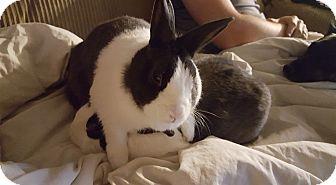 Dutch Mix for adoption in Baltimore, Maryland - Bunnydict Thumperbatch