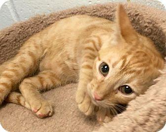 Domestic Shorthair Cat for adoption in St. Louis, Missouri - Venus