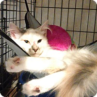 Domestic Longhair Cat for adoption in Whitestone, New York - penelope