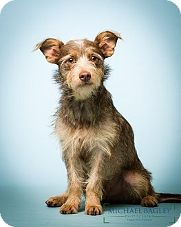 Schnauzer (Miniature)/Terrier (Unknown Type, Small) Mix Dog for adoption in Bedminster, New Jersey - Mason - MEET ME