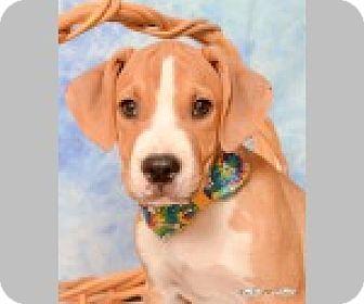 Boxer/Labrador Retriever Mix Puppy for adoption in Pittsboro, North Carolina - Ace