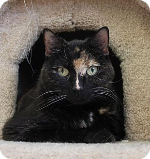 Domestic Shorthair Cat for adoption in Westampton, New Jersey - Baby Girl 31281379