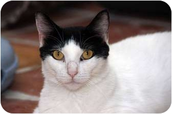 Domestic Shorthair Cat for adoption in Scottsdale, Arizona - Beauty