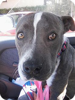 American Pit Bull Terrier Mix Dog for adoption in Santa Monica, California - Bronson