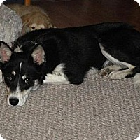 Husky/Australian Kelpie Mix Dog for adoption in Rawlins, Wyoming - Sequoia