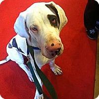 Adopt A Pet :: Petey - Medical Hold - Manassas, VA