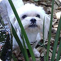Adopt A Pet :: KYLE - Torrance, CA