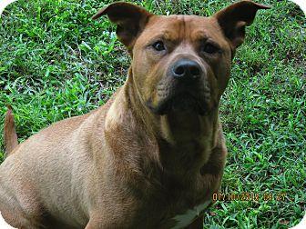 Shar Pei Mix Dog for adoption in Fincastle, Virginia - Copper