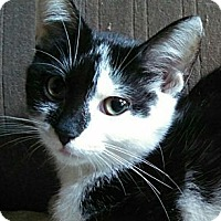 Domestic Shorthair Cat for adoption in Brighton, Missouri - Cynthia