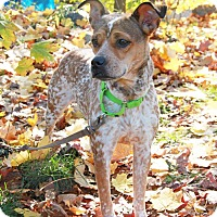 Adopt A Pet :: Becca - New Rochelle Humane, NY
