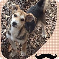 Adopt A Pet :: Rufus (Pom) - Allentown, PA