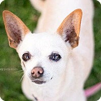 Chihuahua Dog for adoption in El Cajon, California - Eleanor