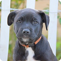 Adopt A Pet :: Bradshaw von Betty - Thousand Oaks, CA