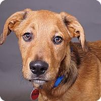 Adopt A Pet :: Storm - Sudbury, MA