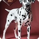 Adopt A Pet :: Dalton