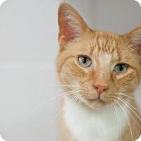 Domestic Shorthair Cat for adoption in Stafford, Virginia - Cheddar