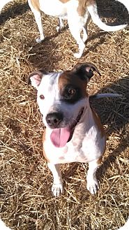 American Pit Bull Terrier Dog for adoption in richmond, Virginia - Cody