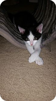 Domestic Shorthair Kitten for adoption in Turnersville, New Jersey - Peppers