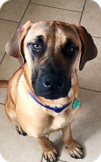 Mastiff Mix Dog for adoption in Jacksonville, Florida - Louie