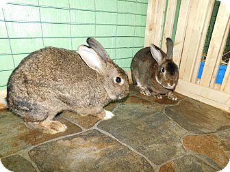 Mini Rex Mix for adoption in Elizabethtown, Kentucky - Callie