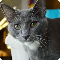 Adopt A Pet :: Salmon - St. Charles, MO