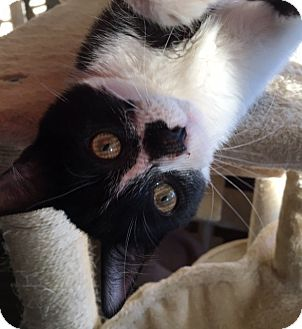 Domestic Shorthair Kitten for adoption in North Las Vegas, Nevada - Oracle