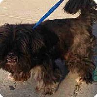 Adopt A Pet :: Brando - New York, NY