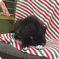 Adopt A Pet :: Paris - Hagerstown, MD