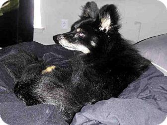 Pomeranian Mix Dog for adoption in San Antonio, Texas - A406562