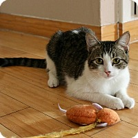 Domestic Shorthair Cat for adoption in Los Angeles, California - Blaney