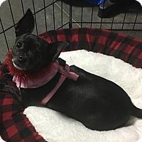 Chihuahua Dog for adoption in Overland Park, Kansas - Luna