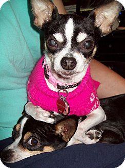 Chihuahua Mix Dog for adoption in New Stanton, Pennsylvania - Callie