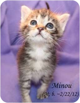 Domestic Shorthair Kitten for adoption in Union, Kentucky - Minou