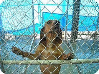 Hound (Unknown Type)/Redbone Coonhound Mix Dog for adoption in Sparta, New Jersey - Queen Anne