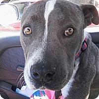 Adopt A Pet :: Bronson - Santa Monica, CA