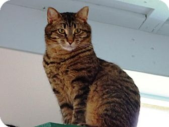 Domestic Shorthair Cat for adoption in Belleville, Michigan - Cobra
