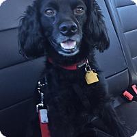 Adopt A Pet :: Jet - Sacramento, CA