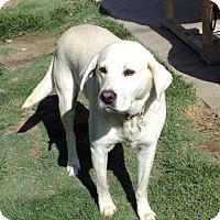 Adopt A Pet :: Ice - Torrance, CA