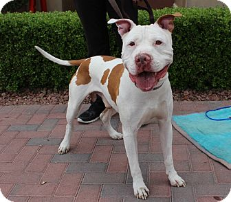 American Bulldog/American Pit Bull Terrier Mix Dog for adoption in Las Vegas, Nevada - MACHO ROMAN