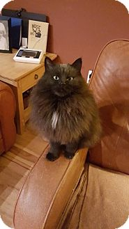 Domestic Longhair Cat for adoption in Lovingston, Virginia - Smudgy (aka Smudge) (COURTESY 2/11/16)