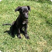 Adopt A Pet :: Maple - Aurora, IL