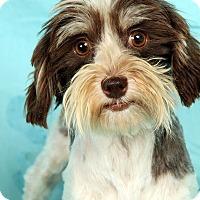 Adopt A Pet :: Bobette Havanese - St. Louis, MO