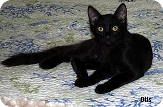 Domestic Shorthair Kitten for adoption in Fullerton, California - Otis