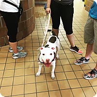 American Pit Bull Terrier/American Staffordshire Terrier Mix Dog for adoption in Chicago, Illinois - Coconut