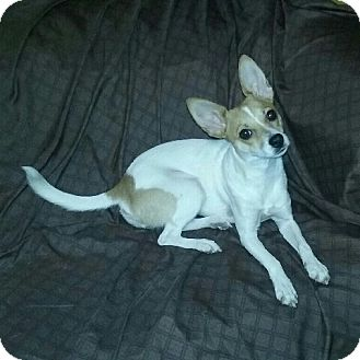 Rat Terrier Mix Dog for adoption in Dallas, Texas - zzBrownie