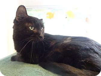 Domestic Shorthair Cat for adoption in Tucson, Arizona - PEROGI
